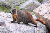 foto of marmot  - Wild animal - yellow-bellied marmot (Marmota flaviventris) in Rocky Mountains National Park Colorado United States