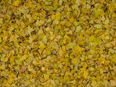 Fallen Leaves Of The Ginkgo