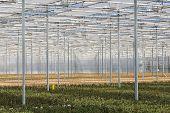 Cultivation Of Fuchsia In A Dutch Greenhouse