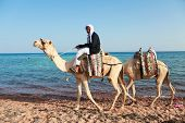 DAHAB, SINAI - JANUARY 29, 2011: Bedouin man with camels on beach during safari in Dahab, Egypt on J