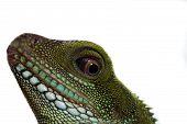 Head And Eye Of An Adult Agama (physignathus Cocincinu)