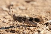 foto of locust  - Brown locust close up full body side view  - JPG