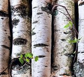 stock photo of birching  - Reserves of birch logs on the background close up - JPG