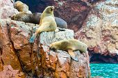 stock photo of sea lion  - South American Sea lions relaxing on rocks of Ballestas Islands in Paracas National park Peru - JPG