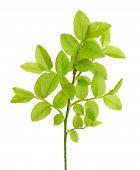 Vaccinium Myrtillus Branch
