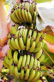 Banana Growing On Tree