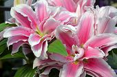 Pink Stargazer Lily Flowers