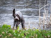 german shorthaired pointer shaking after a swim in a pond