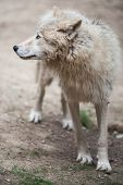 stock photo of wolf-dog  - Arctic Wolf  - JPG