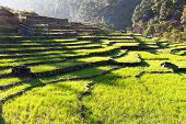 Green Field Of Rice In Nepal