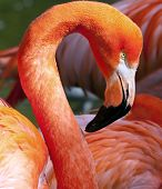 foto of flamingo  - American Flamingo  - JPG