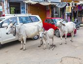 Cows Strolling Around In The City Of Pushkar, India