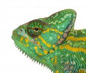 picture of chameleon  - Headshot of a Yemen chameleon  - JPG