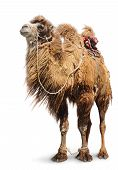Bactrian Camel On White Background