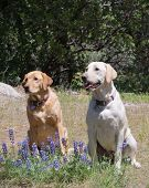 Pair of Labrador retriever dogs sitting obediently waiting for instruction