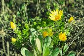 stock photo of adonis  - Blossoming of wild yellow adonis flower in nature - JPG