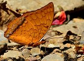 Beautiful Of Common Commander Butterfly In Natural Environment