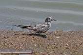 stock photo of tern  - Black Tern  - JPG