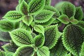 foto of molly  - photo of the pilea mollis green plant - JPG