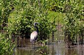 image of bayou  - Tricolored or Louisiana Heron in the bayou - JPG