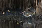 stock photo of snipe  - Female Greater Painted Snipe (Rostratula benghalensis) standing amongst mangrove shoots