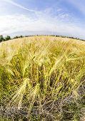 Spica Of Wheat In Corn Field