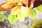 Close Up Of Autumn Beech Leaves In Backlit