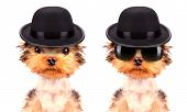 stock photo of mafia  - Dog dressed as mafia gangster on a white background - JPG