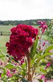 Dark Pink or Red Celosia