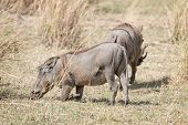 Central African Warthogs