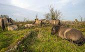 Herd of konik horses in nature at fall