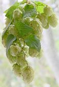 Ripe Green Hop Cones With Leafs Taken Closeup.