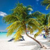 Coconut palm on caribbean beach