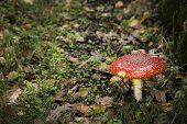 toxic mushroom - amanita muscaria