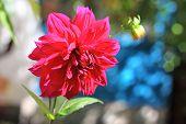 Crimson Dahlia Flower Closeup