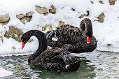 foto of black swan  - A pair of black swans in the winter lake - JPG
