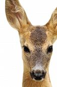 Isolated Head Of A Roe Deer