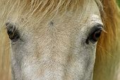 image of horse face  - Close up view of a white horse - JPG