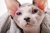 Canadian Sphynx cat with scarf portrait close-up