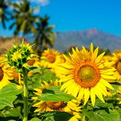 Beautiful Blooming Field Of Sunflower Background With Blue Sky And Mountains In India, Closeup