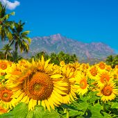 Beautiful Bloming Field Of Sunflower Background With Blue Sky, Palm Trees And Mountains In India, Cl
