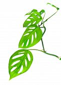 Beautiful Young Green Monstera (var. Expilata) Twig Is Isolated On White Background, Closeup