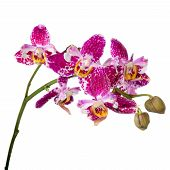Blooming Twig Purple Pyloric Spotted With Bud Orchid, Phalaenopsis Like Lace Is Isolated On White Ba