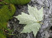 Wet Leaf On Stone
