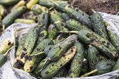 stock photo of landfills  - Piles of rotten cucumbers on the landfill - JPG
