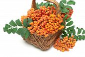 stock photo of mountain-ash  - bunches of red mountain ash in a wicker basket on a white background - JPG