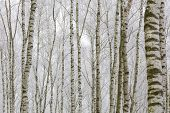 image of birching  - Frosty birch forest in winter - JPG