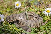 picture of vicious  - Viper is in the meadow with daisy - JPG
