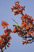 stock photo of parakeet  - Rose ringed parakeet on red flowers, Bardia national park, Nepal