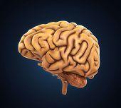 image of temporal lobe  - Human Brain Anatomy Illustration  - JPG